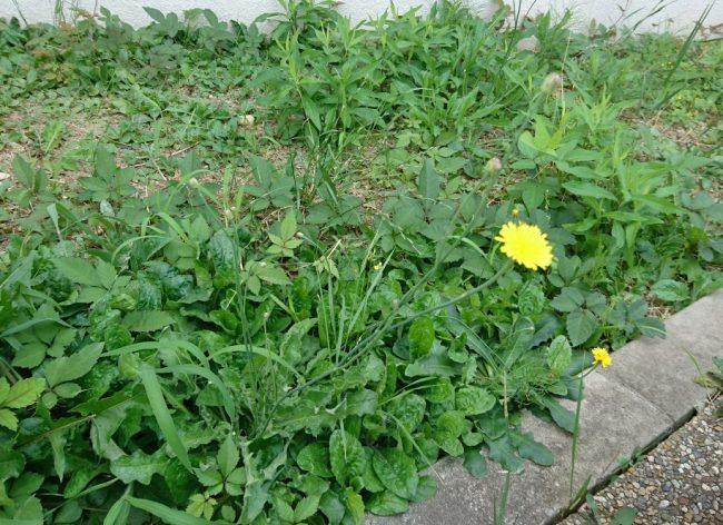 この黄色い花は!
